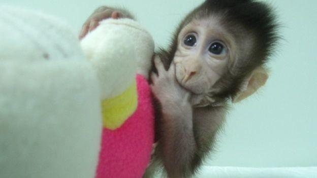 La isla del doctor Moreau estaba en China: cinco macacos clonados con síntomas de esquizofrenia nacen en Shanghái