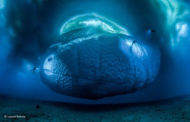 The Ice Monster Laurent Ballesta Wildlife Photographer Of The