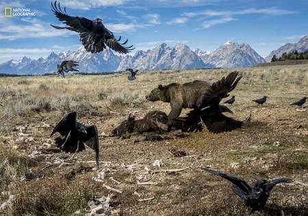 Bear Feeding Bison Teton