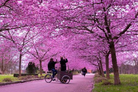Cerezos en flor Copenhague