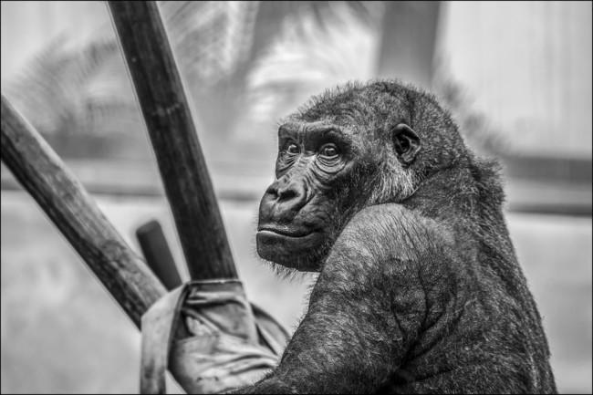 Gorilla Zoo Monkey Mammal 37548