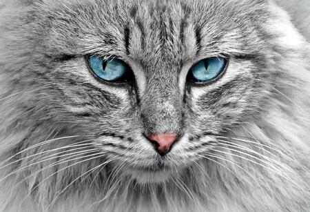 Gato Ojos Azules