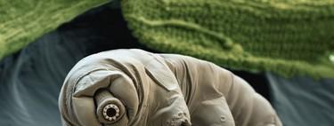Los tardígrados resisten hasta el vacío del espacio, pero no podrán aguantar el calentamiento global