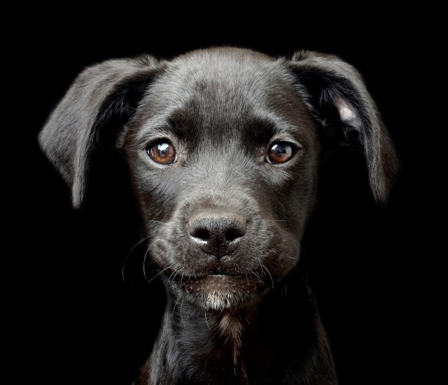 Dpoty Puppy 2nd C Tracy Kirby The Kennel Club 2