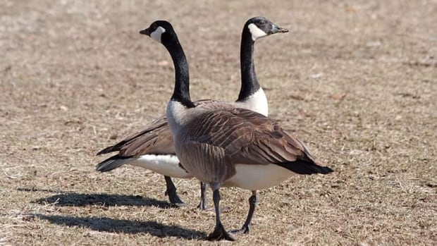 A pair of Canada Geese. The University of Waterloo is trying new ways to fight the geese problem on campus, including using dog patrols and asking students to tweet in nest locations.