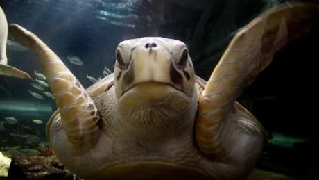 Endangered species leatherback marine turtle