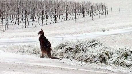 Snow way! Kangaroos Bounce Around in Australian Snow Australia-kangaroo-in-snow