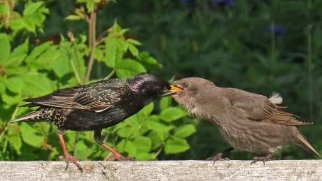 Adult birds feeding its young