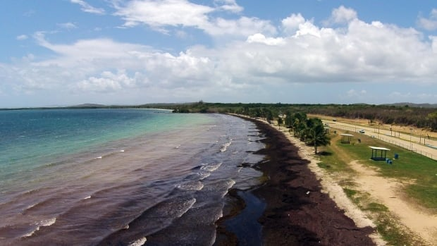 Some scientists have associated the large quantities of seaweed this year in the Caribbean region with higher than normal temperatures and low winds, both of which influence ocean currents, and they draw links to global climate change.