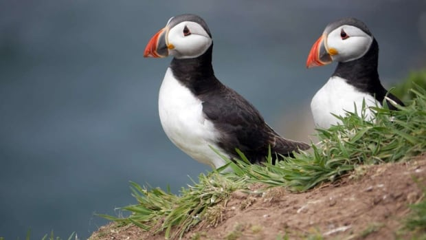 European puffin populations were listed as vulnerable on the International Union for the Conservation of Nature's Red List of Threatened Species in October 2015. They use some of the donated islands.