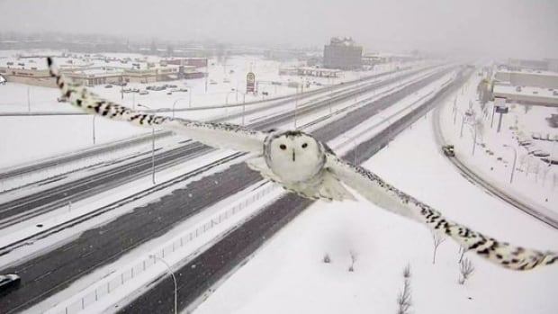 This curious snow owl looks straight at Transport Quebec's traffic camera along Highway 40 at Sources Boulevard.