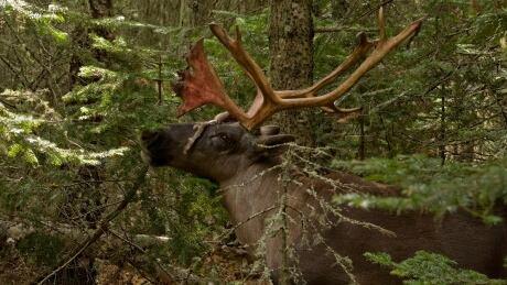 Woodland caribou, Ontario, Canada