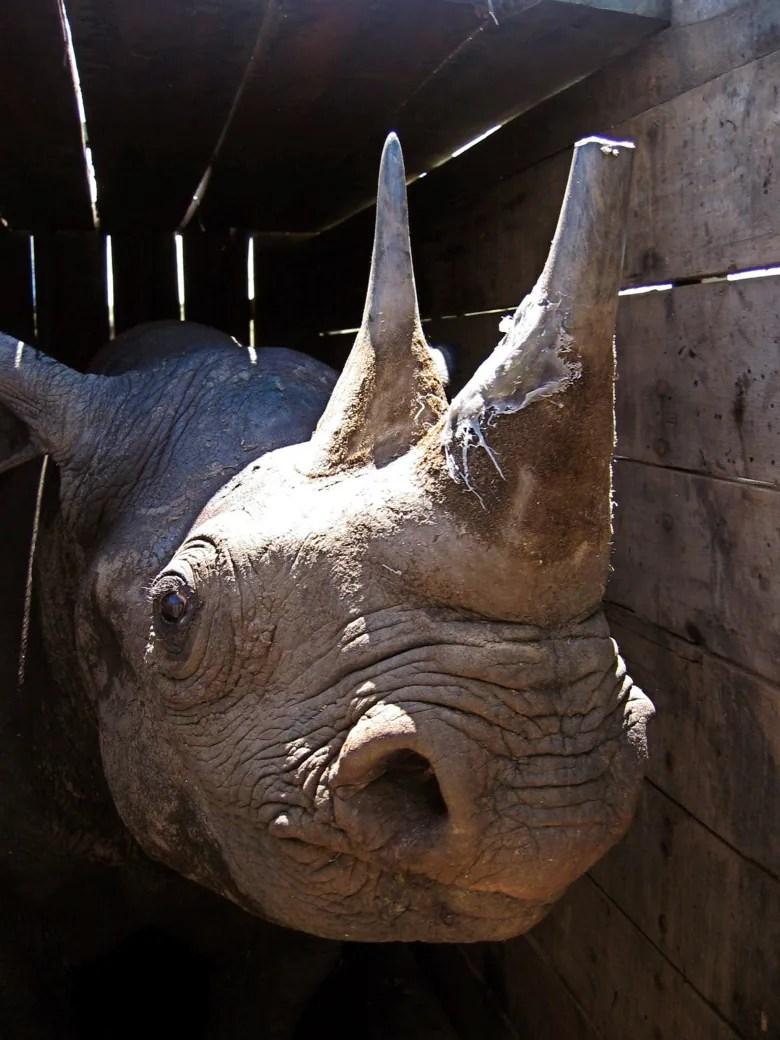 8 endangered black rhinos die in Kenya after relocation kenya rhino deaths