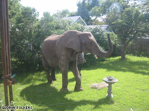 The elephant that wandered into the Folkers' backyard yesterday.
