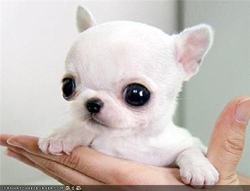 Chihuahua Crying Dog Meme