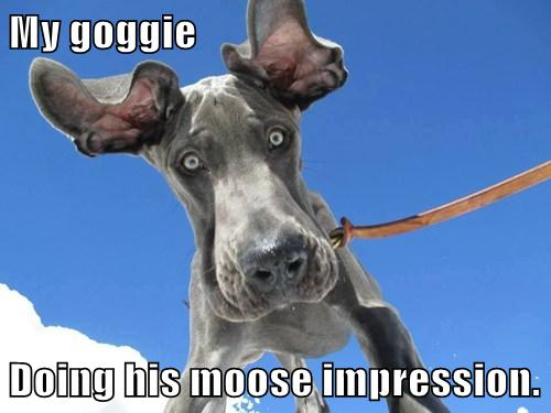 I Has A Hotdog Great Dane Funny Dog Pictures Dog Memes Puppy Pictures Pictures Of Dogs Dog Pictures Funny Pictures Of Dogs Dog Memes Puppy Pictures Doge Cheezburger