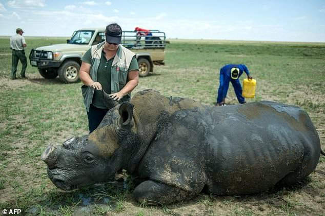 S. Africa's First Online Rhino Horn Auction Set To Open