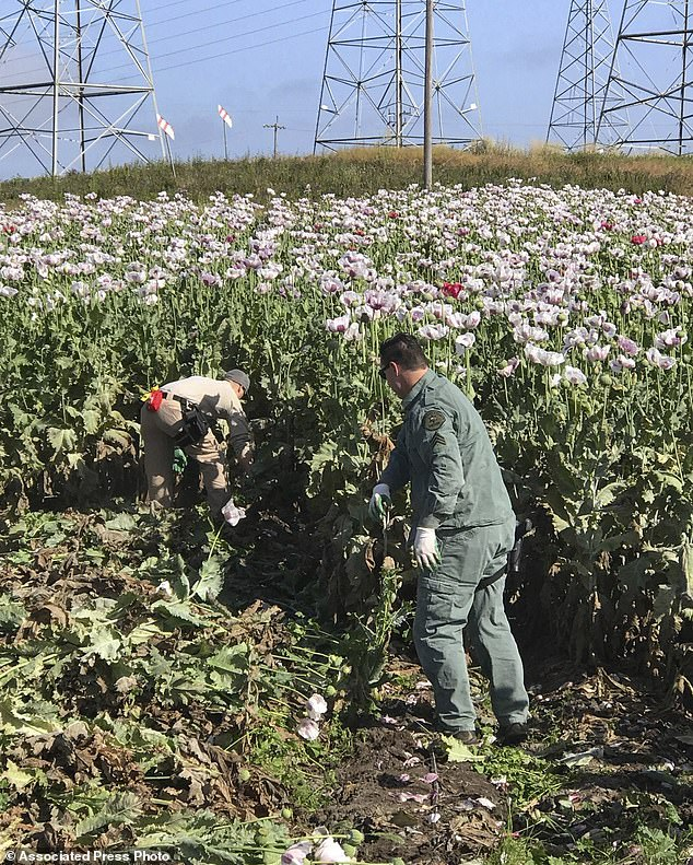 Deputies over the weekend destroyed 27,000 plants growing on a private plot next to a road and another 16,500 plants that had been harvested