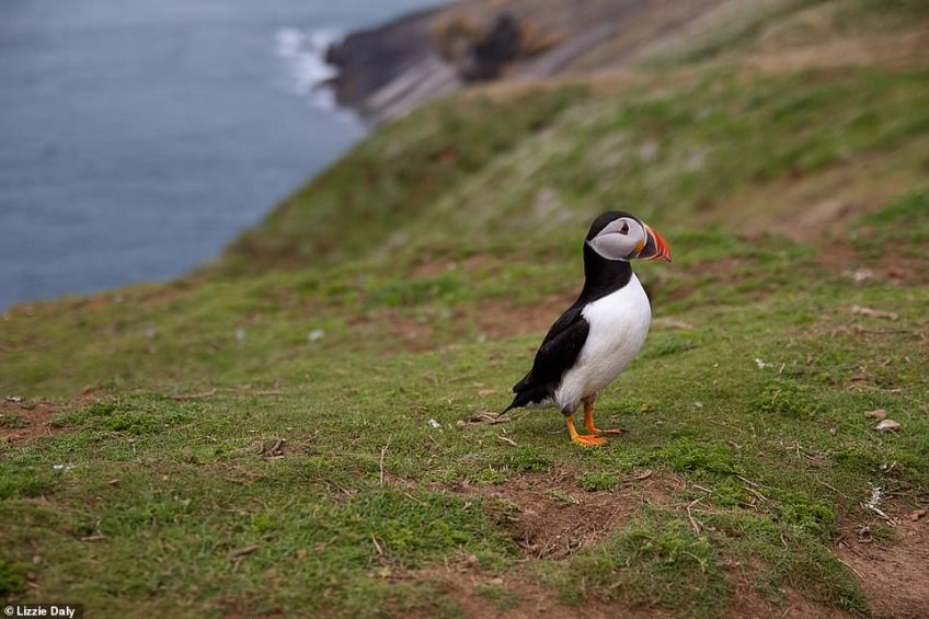 Feathered friends: A huge colony of puffins can be found on Skomer Island, which you can get to via a boat from Neyland