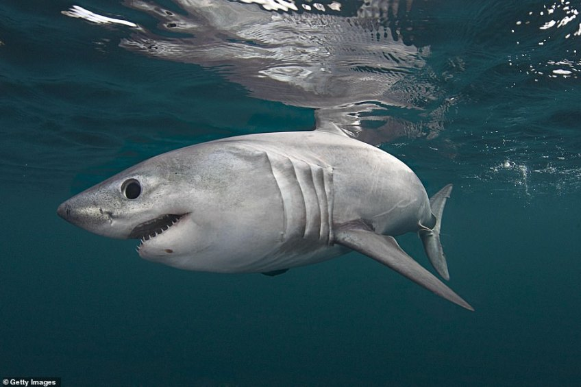Theporbeagle shark (stock image). Another amazing creature you can see on a Welsh break
