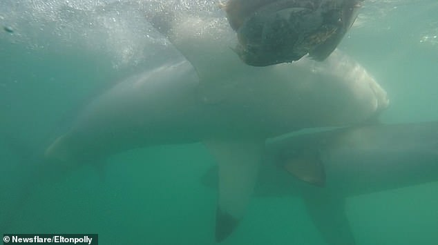 The larger shark can be seen making its way over to the smaller shark after missing a piece of bait