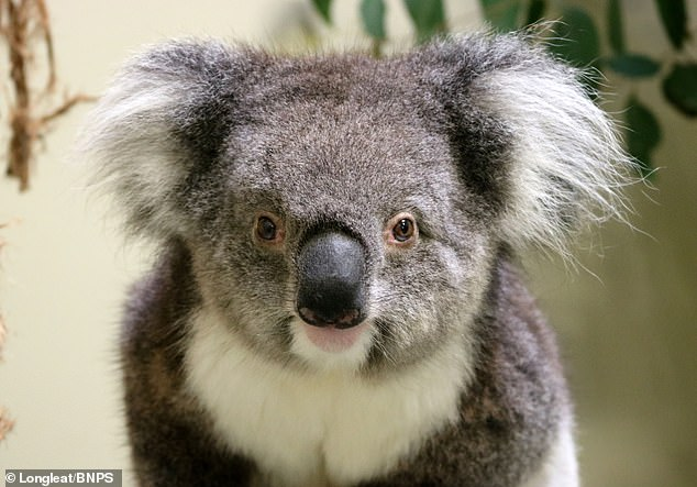 The koalas form part of an international effort to preserve the species by spreading small groups to parks and zoos across the globe. This image shows one of the koalas at the new enclosure in Longleat