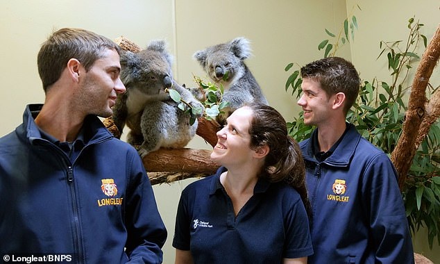 Longleat staff have been training in koala care in Australia. Conservation experts hope the koalas will act as ambassadors for the species in Europe