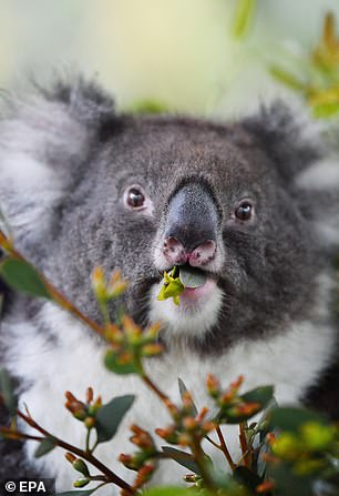 The koalas will now spend around six months away from visitors to the part as they settle into their new home