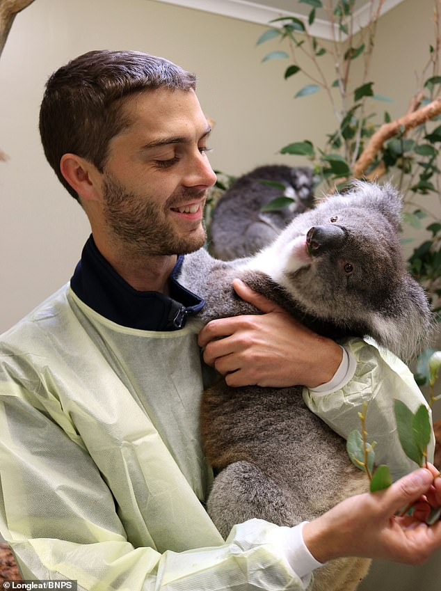 Pictured isLongleat koala keeper Chris Burr with one of the park's new arrivals