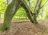 This tree in Aberford, near Leeds has been awarded 'Tree of the Year' by the Woodland Trust