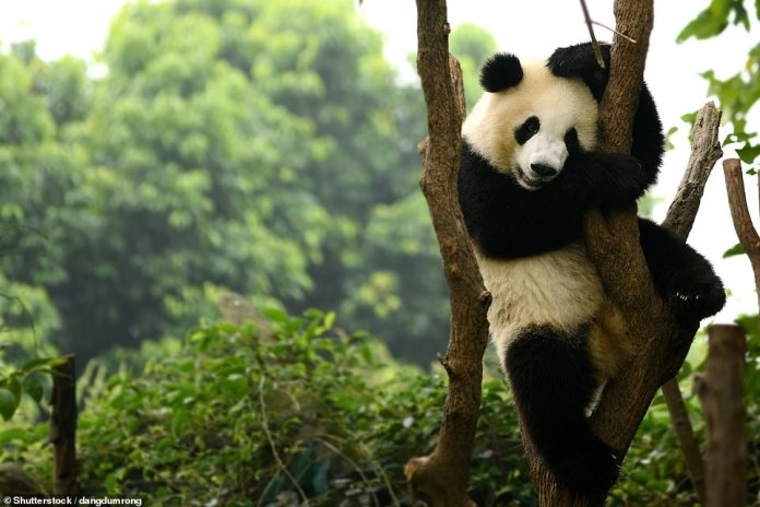 A giant panda clings to a tree in Chengdu while posing in front of the camera. The bear is native to central China, but there is just over 1,800 in the wild
