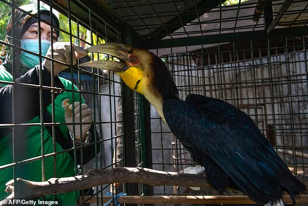 """Jary's prosthetics will stay in place until he manages to build his own housing. Great Pied Hornbills are classified as """"endangered"""" in the Red List of Endangered Species of the International Union for the Conservation of Nature"""