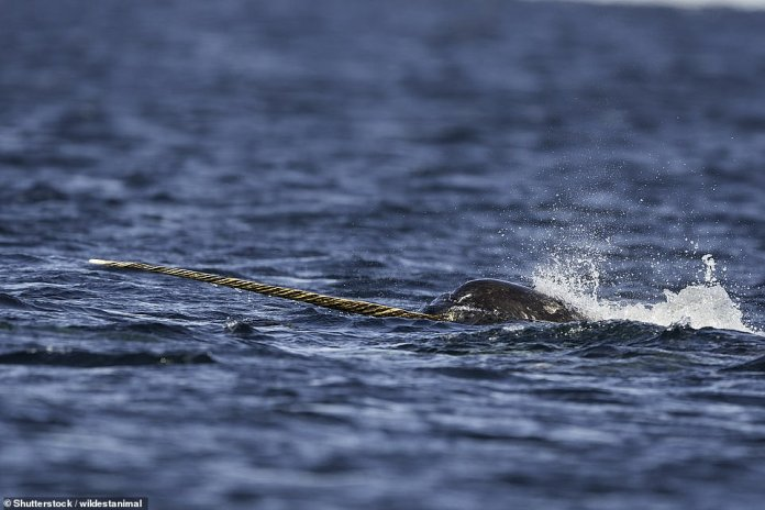 "A male narwhal feeding on bait fish. This whale was called the ""Unicorn of the Seas""."