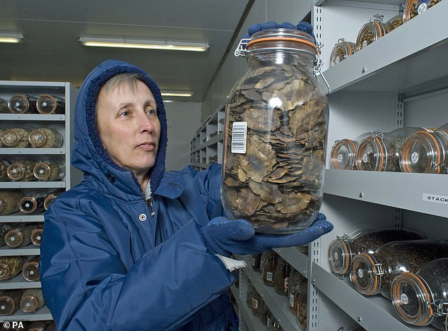 The seed banks are dried and then deep-frozen to -20 ° C to preserve the seeds. In an effort to preserve plants, trees and wild relatives of crops. Important British tree species such as oak and horse chestnuts could be lost forever if current methods are not updated
