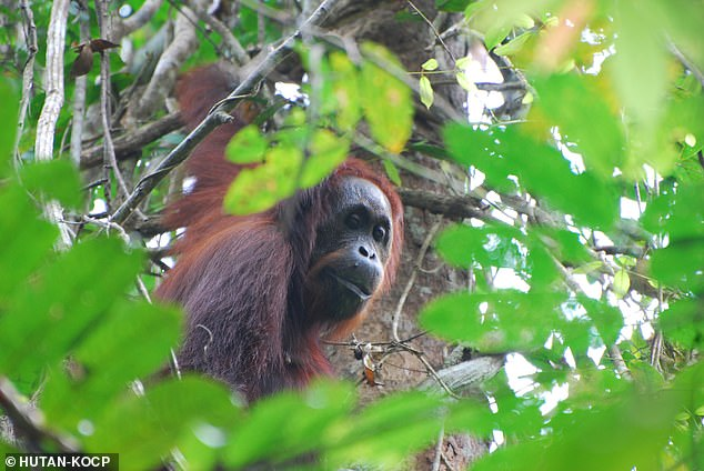 A recent Indonesian report claimed that the orangutan population increased by more than 10 percent between 2015 and 2017. This is directly contrary to the belief of the scientific community, based on legitimate published research and peer review peer-reviewed