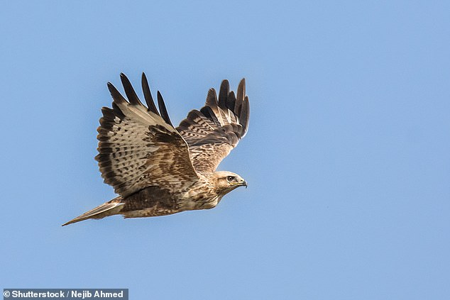 The researchers studied lizard and bird populations at three wind turbines in the western ghats of India. In areas with wind farms they found almost four times fewer buzzards, hawks and dragons - a loss of about 75 percent (image file)