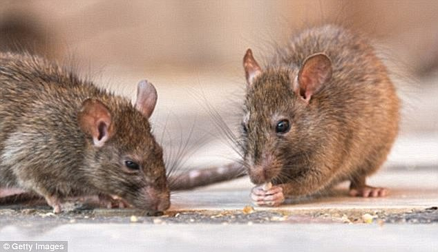 Hantavirus is caused by contact with infected rodent, urine, saliva, nesting material or inhaling particles (image of file).