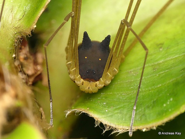 The close-up photos create the impression that the bunny harvestman is quite large, but in actuality, it's not even as big as a human fingernail