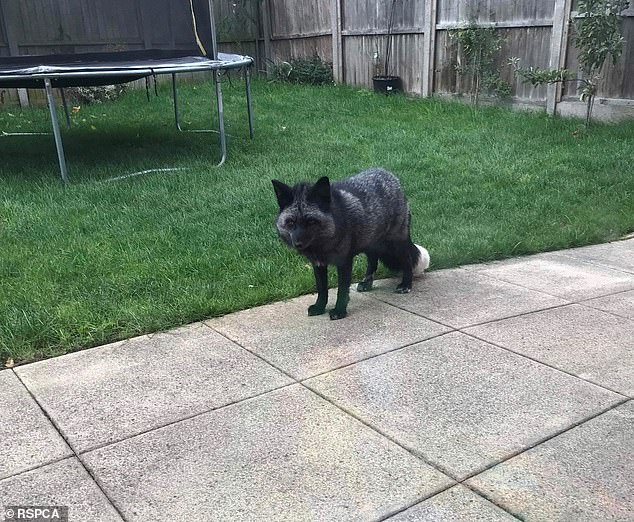 Shadow (pictured here in the Cheshire Garden) is not equipped with a microchip and got its name because of its deep black fur with striking silver