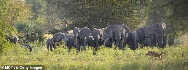 Nahezu 90 Prozent der afrikanischen Elefanten im Gorongosa-Nationalpark in Mosambik wurden wegen ihres Elfenbeins für die Finanzierung von Waffen im Bürgerkrieg des Landes abgeschlachtet