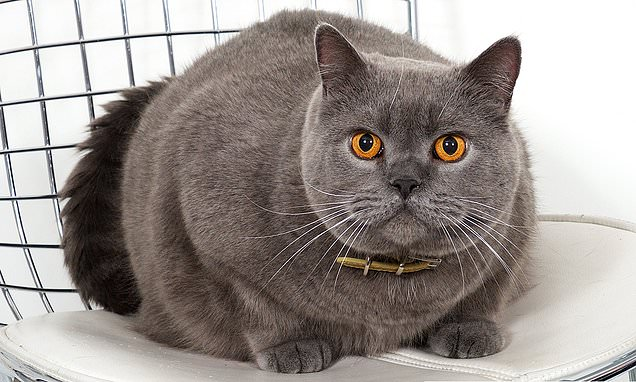 Meet The Must Have British Shorthair Breed Which Is Loved
