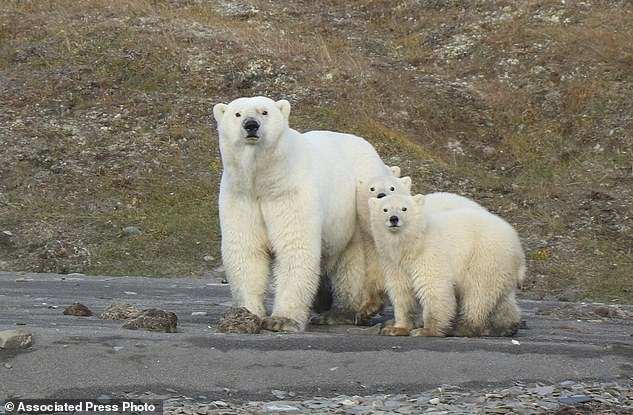 The first formal count of polar bears in the waters between the United States and Russia shows that they fare better than some of their cousins ​​elsewhere (file photo).