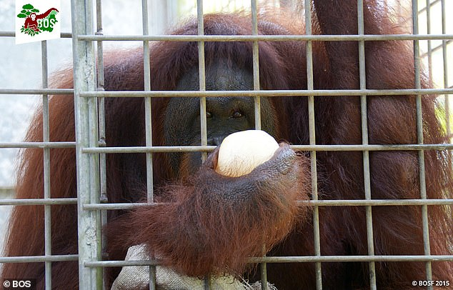 Her carers believe she will never be released back into the wild as she lacks the skills to survive having lived in captivity for so long
