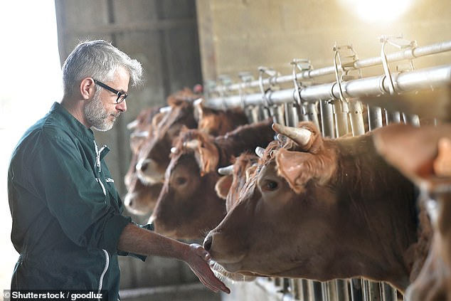 Methane and nitrous oxide are produced in huge quantities by livestock and are significant contributors to global warming. Animal rights activists, scientists and conservationists have long petitioned for a reduction in the worldwide consumption of meat and dairy products (stock)