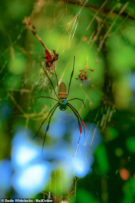 Sadie spotted at golden orb spider one day