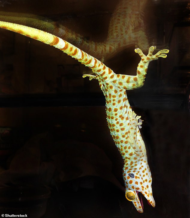 The researchers recorded and quantified the movement of the animals and found that the geckos use a slap movement to hoist their bodies over the water creating an air bubble, which generates an extra force and helps their body to stay above the surface of the water (image)