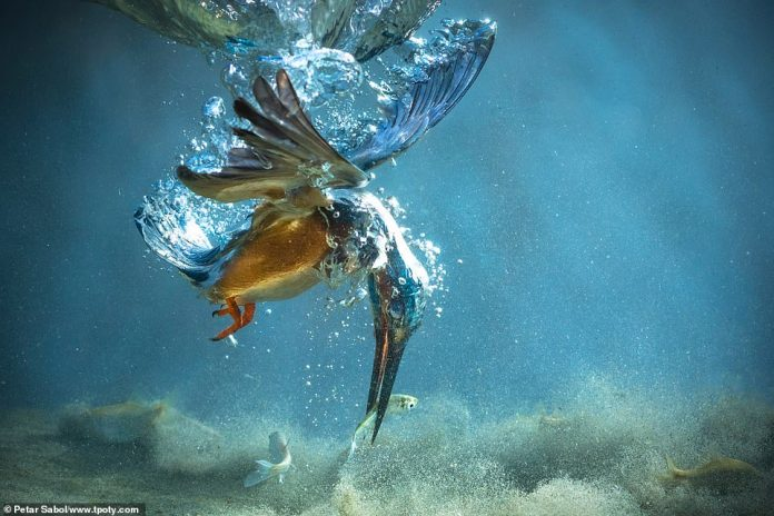 Croatian photographer Petar Sabol won a special mention in the natural world single image category for this stunning picture of a kingfisher grabbing a fish underwater between Palovec and Mala Subotica in Croatia. He said: 'It took weeks and thousands of attempts to get this image'