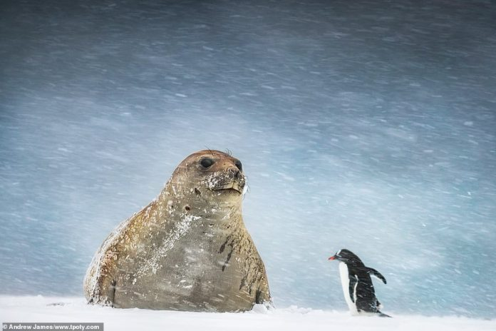 Andrew James from the UK was named joint runner-up in the 'hot/cold single image' category for his shot showing a penguin and a seal in Yankee Harbour in Antarctica. He said: 'This photo of an elephant seal and Gentoo penguin was taking in near-impossible shooting conditions. By the time I had finished I was more or less buried in the snow and absolutely frozen as I can't work a camera with gloves on so had removed them earlier'