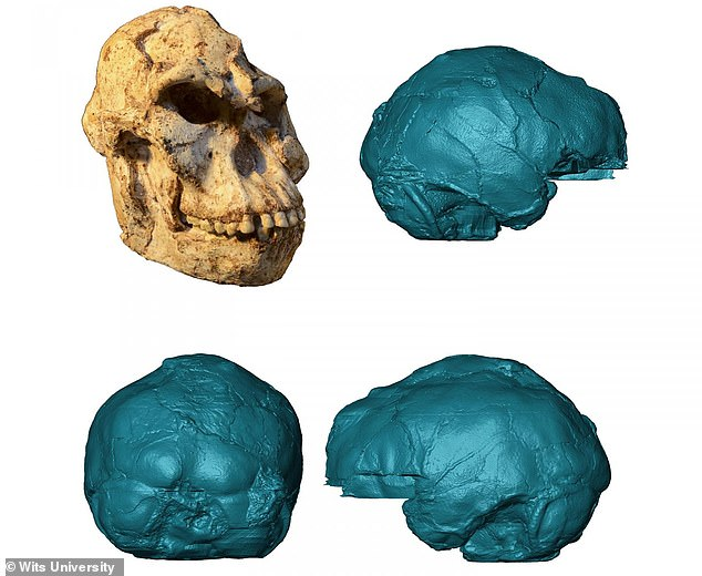MicroCT scans of the Australopithecus fossil were used to reconstruct the brain, and reveal a small brain combining ape-like and human-like features