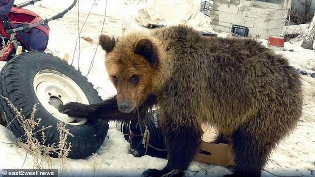Caged: The brown bear escaped it enclosure and attacked its owner and ate two of his dogs
